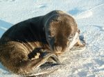 Baby Sea Lion - Galapagos